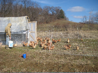 The hens are enjoying their time out of the henhouse.